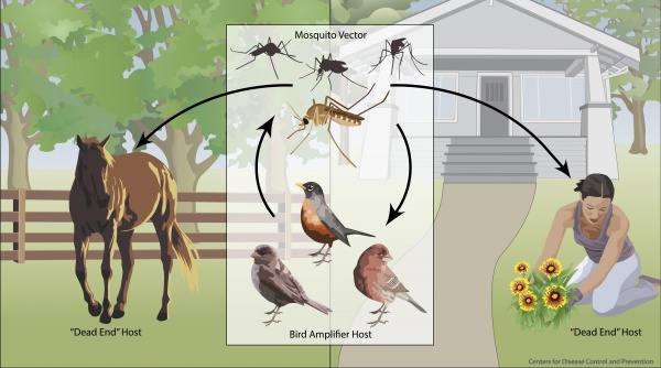 WestNile Life CDC small.jpg